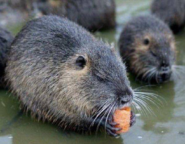 Если самец нутрии во время половой охоты больше интересуется едой, чем спариванием, скорее всего его придется отбраковать