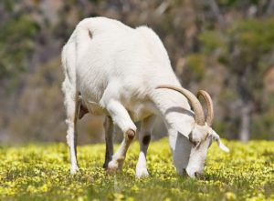 Не следует все пастбище целиком отдавать в распоряжение коз, поскольку это чревато быстрым истощением участка. В поисках лучших трав, животные будут вытаптывать соседнюю траву. Фото 26. Если использовать участки пастбища дозированно, то трава будет успевать обновляться.