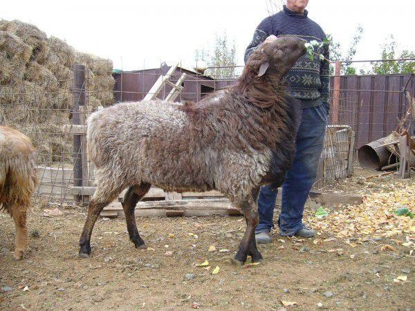 Откорм забойной овцы начинается за несколько недель до дня ее предполагаемой смерти