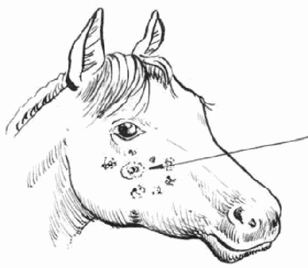 Узелки сапа у лошади на морде