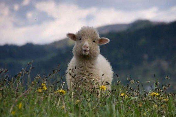 Составьте своим овцам оптимальный рацион и получите серьезную отдачу