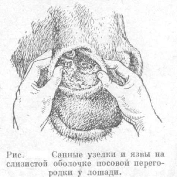Сапные узелки внутри носовой полости