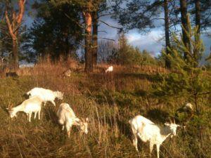 Перемещение стада нужно регулировать: рекомендуют, чтобы солнце светило на коз сбоку или сзади, поскольку прямое солнечное освещение не дает им возможности находить необходимые растения.