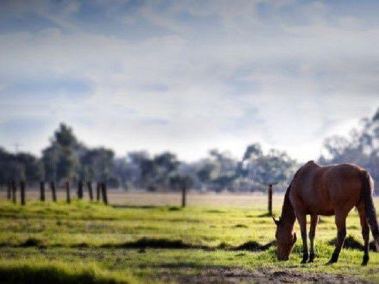 Заражение может произойти во время поедания травы на неблагополучных пастбищах
