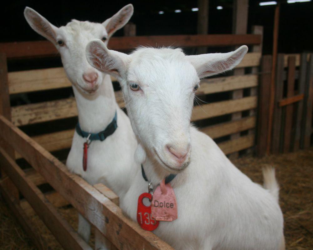 Зааненские козы являются самыми востребованными среди молочных пород
