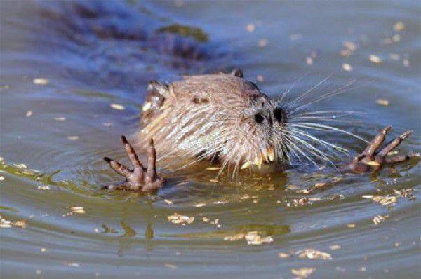 В воде нутрия передвигается намного быстрее, чем на суше, и медленнее устает