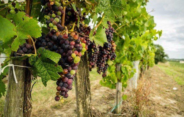 Молодые побеги виноградной лозы также подойдут для кормления зверьков