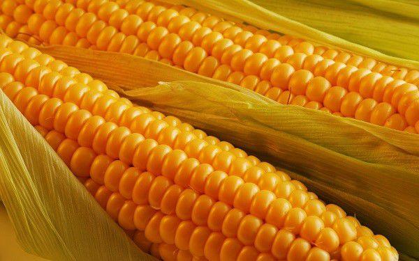 Кукуруза - питательное лакомство для нутрий
