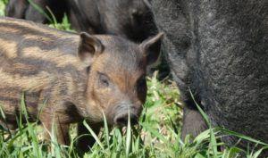 Кармалы: порода свиней