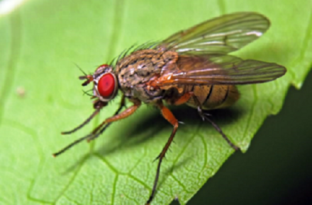 Переносчик заболевания - маленькая мушка гематобия