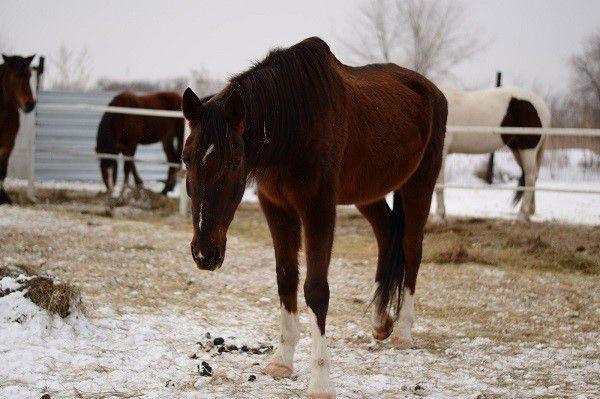 Заболевшая лошадь ощущает сильную слабость