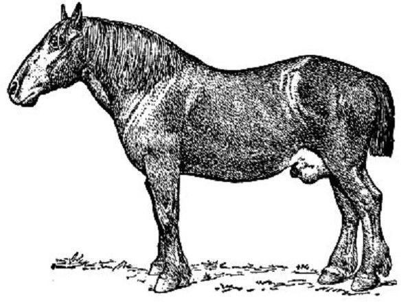 У жеребца случная болезнь проявляется отеком мошонки и препуция