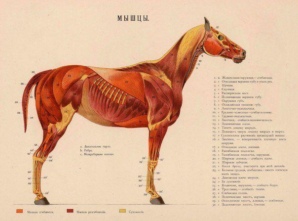 При миозите происходит воспаление мышечной ткани лошади