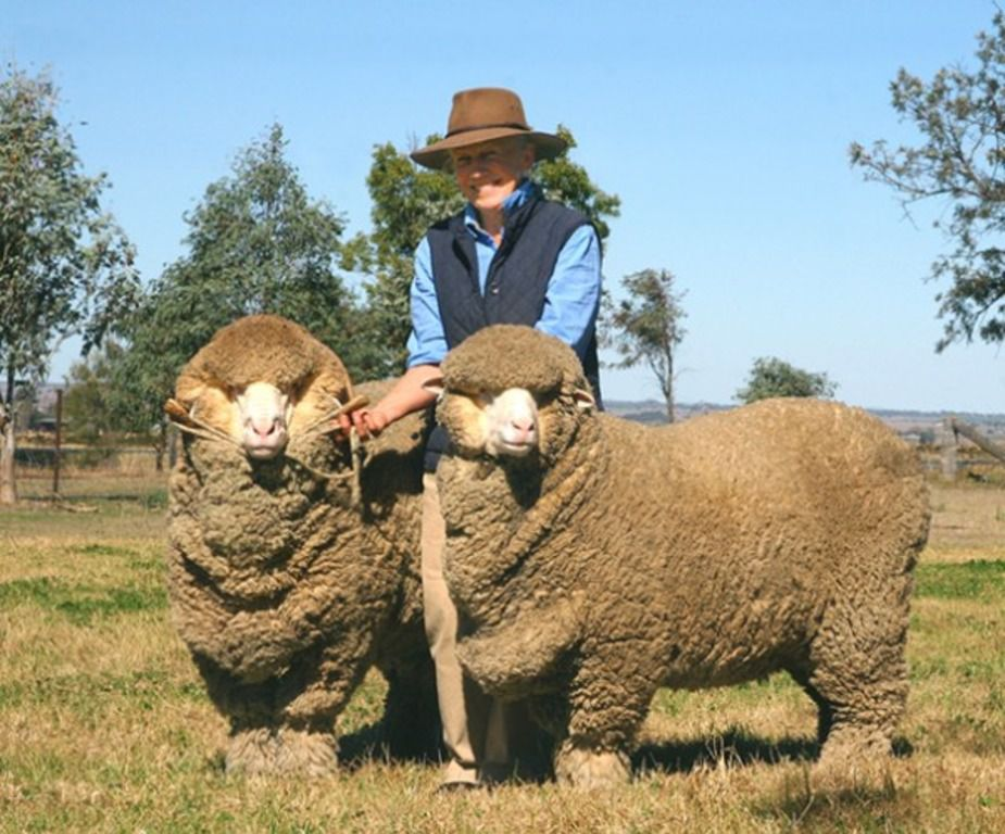 Овцы файн