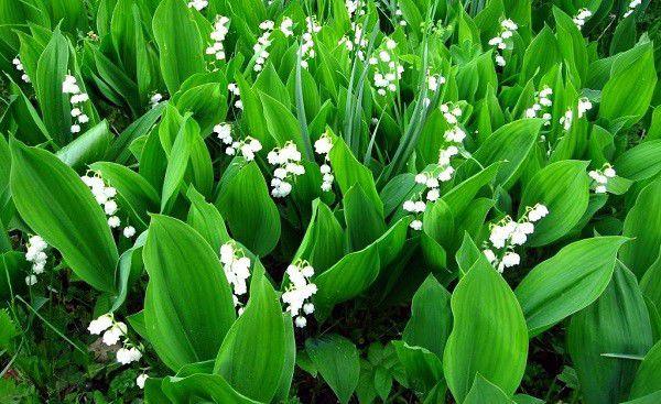 Ландыш является ядовитым цветком, не допускайте поедание его вашими подопечными