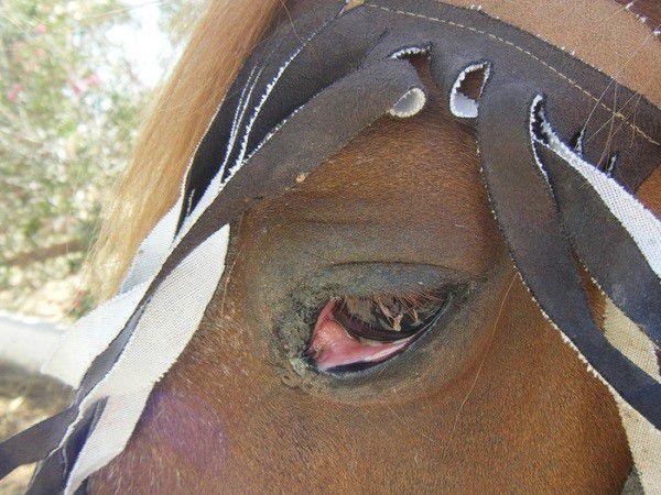Конъюнктивит лошади