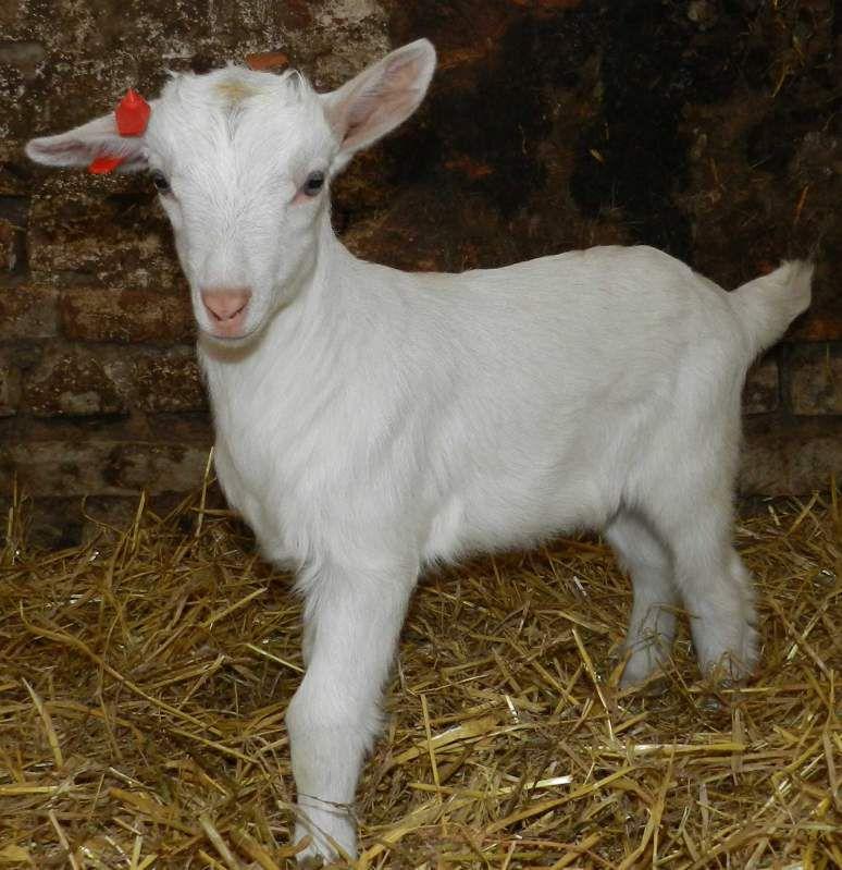 Чистопородным козам присущ идеально белый окрас шерсти
