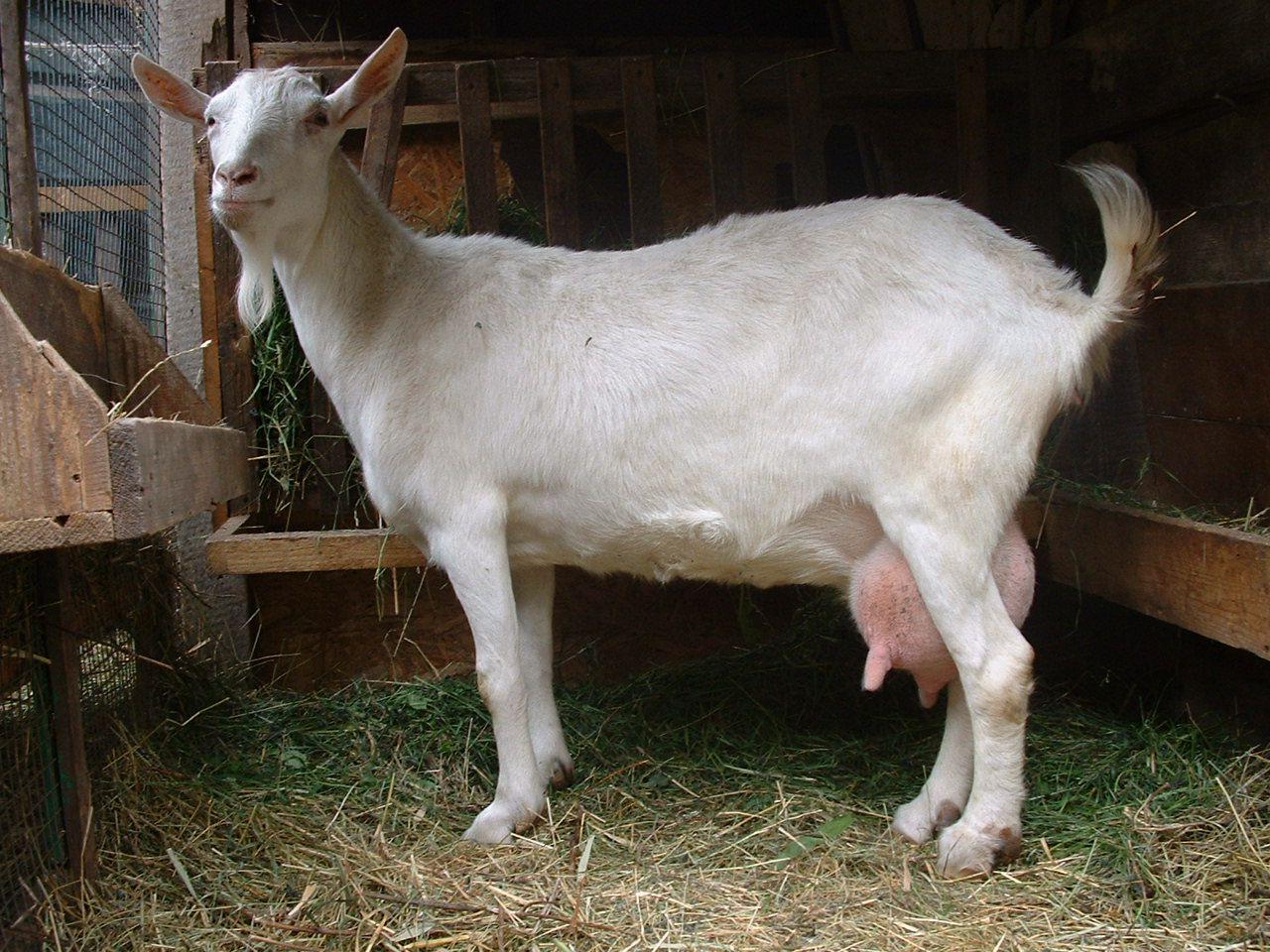 Комплекция коз плотная, но нежная: они являют собой эталон молочных пород коз