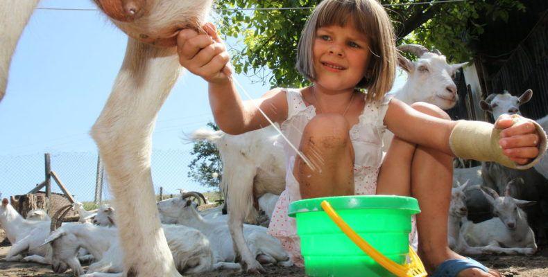 В маленьких хозяйствах практикуют ручной способ доения