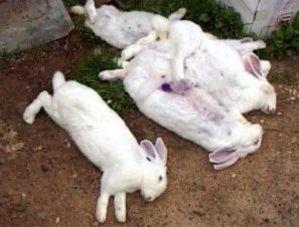 Кролики, погибшие от некротического гепатита