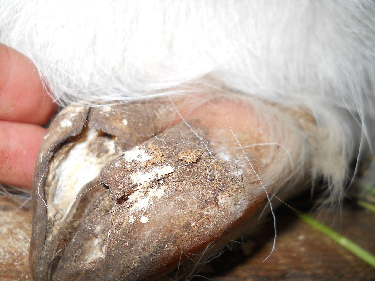 Болезни копыт являются чрезвычайно распространенным заболеванием среди Зааненских коз