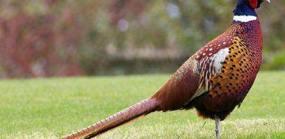 Зеркальный фазан