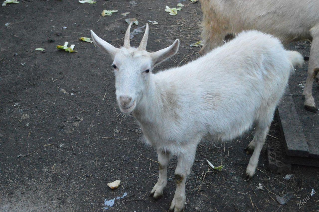 Наличие рогов у Зааненских коз на чистоту породы не влияет
