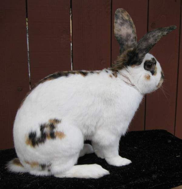 Рейнский кролик