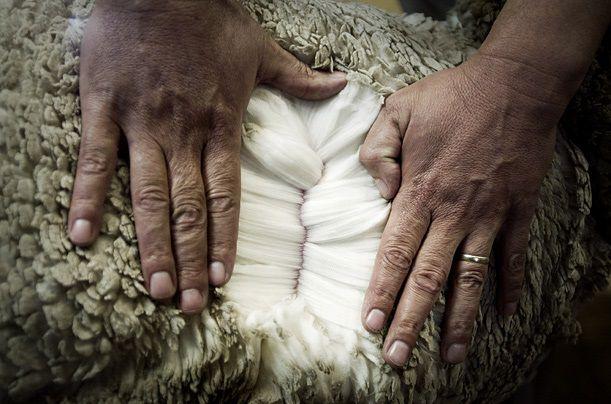 Землистый оттенок на внешней поверхности шерсти обусловлен налетом пыли