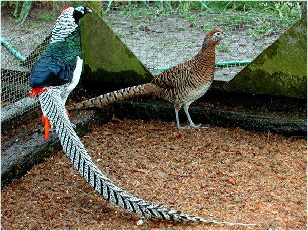 Охотничий фазан