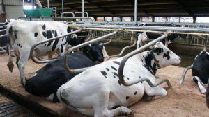 Корова в стоиле