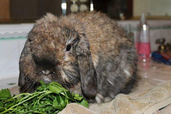 Больной кролик имеет взъерошенную шерсть, он апатичен и отказывается от еды