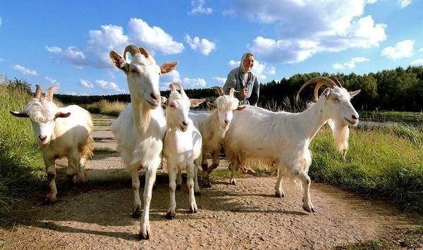 Разведение коз как бизнес: с чего начать, как преуспеть
