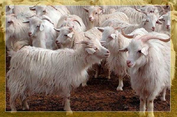 Разведение коз, к сожалению, сопряжено с бумажной волокитой