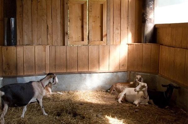 Козы проводят внутри козлятника всю зиму, поэтому он должен быть теплым