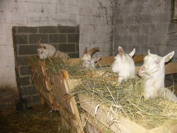 Зимой козы едят непосредственно в стойле