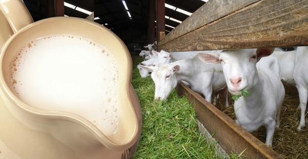 Основная цель разведения коз - получение козьего молока