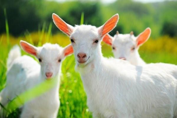 Продажа козлят - также выгодное направление деятельности