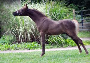 Американские миниатюрные лошади отличаются покладистым характером и отличной обучаемостью