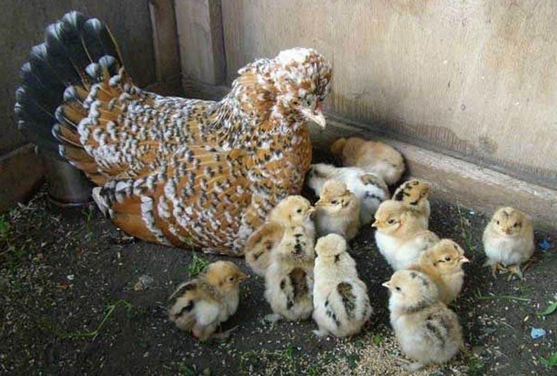 Бентамки всегда готовы прийти на помощь своим цыплятам