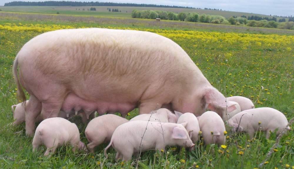 Более всего к интенсивному набору жировой массы предрасположены свиноматки
