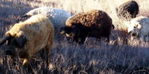 Венгерские мангалицы отличаются спокойным характером и легко уживаются с другими животными