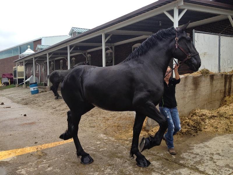 Во Франции разведению лошадей породы Першерон отводится особо важное место