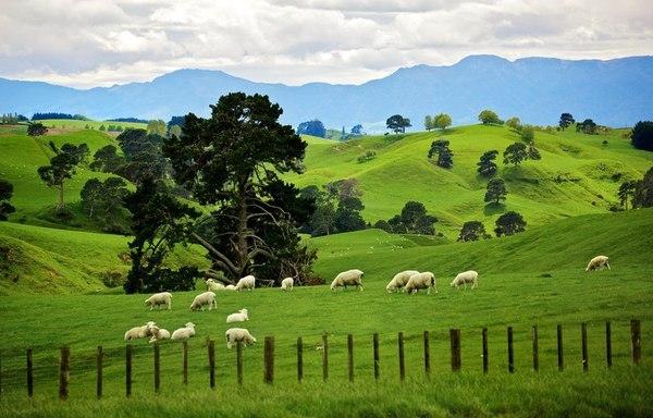 Во время выпаса овцы набирают запас питательных веществ, постепенно растрачиваемых в холода