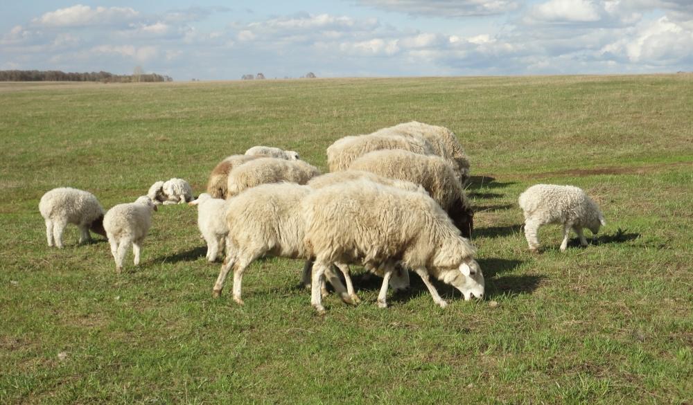 Во время выпаса скота следите за тем, чтобы ни одна овца не отходила на дальнее расстояние