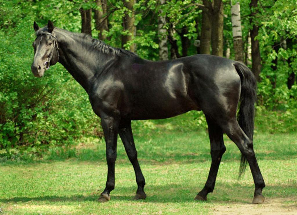 Второе дыхание порода смогла обрести после скрещивания оставшихся особей с английскими чистокровными лошадьми