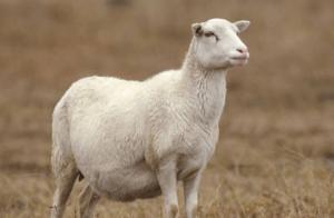Выгуливать суягных овец надлежит только в теплые дни, в зимне-осенние сезоны от прогулок лучше воздержаться