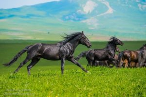 В зависимости от роста особи и ее пропорций, выделяют три типа карачаевских лошадей
