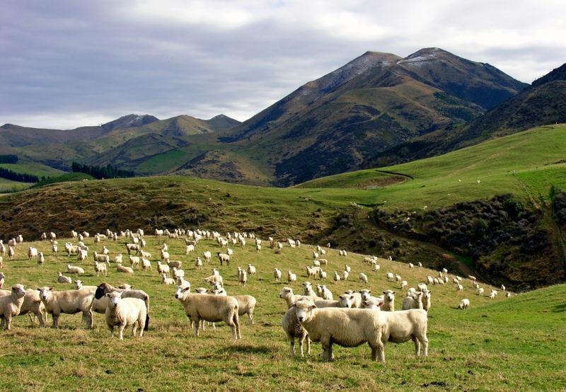 В летний период подкорм овцематок напрямую зависит от степени плодородности пастбища