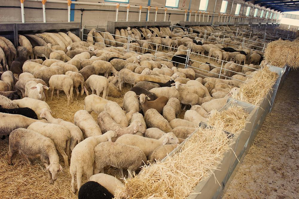 """В попытках """"проанализировать"""" все сено, овцы раскидывают его по стойлу и теряют нему интерес"""